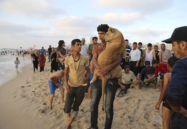 עזה Photo: Lion Cubs Stuck At Gaza Border En Route To Jordan Shelter